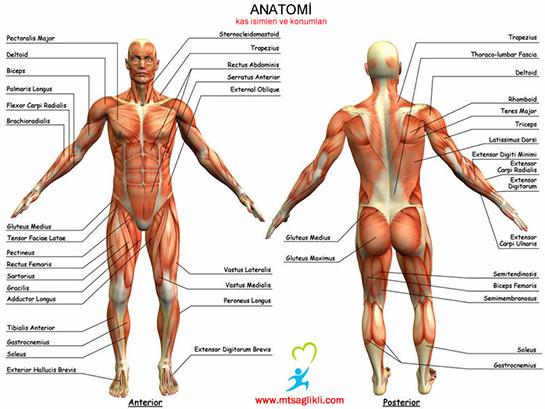 Anatomi Zellikleri Ve Faydalar